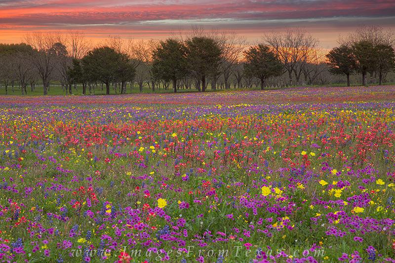 Indian Paintbrush,Bluebonnets,Phlox,Texas wildflower,bluebonnet prints,wildflower photos,texas sunrise,new berlin,church road, photo