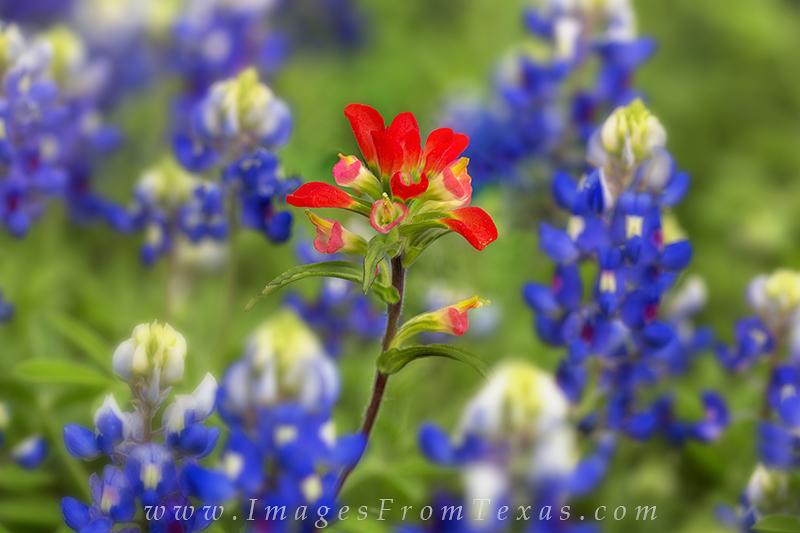 bluebonnets,paintbrush,indian paintbrush,texas wildflowers, photo
