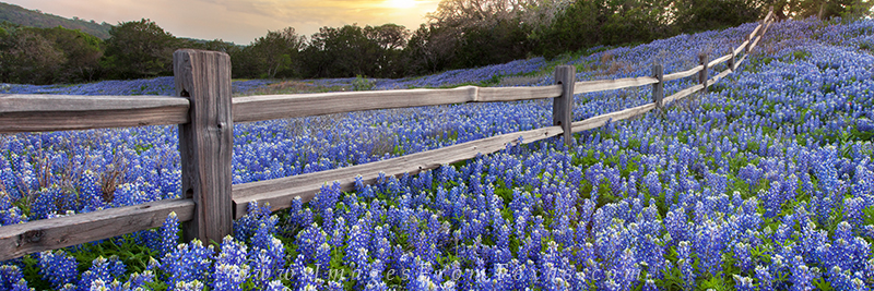 This bluebonnet panorama of an old wooden fence near Llano, Texas is one of my favorite places to look for wildflowers each spring...