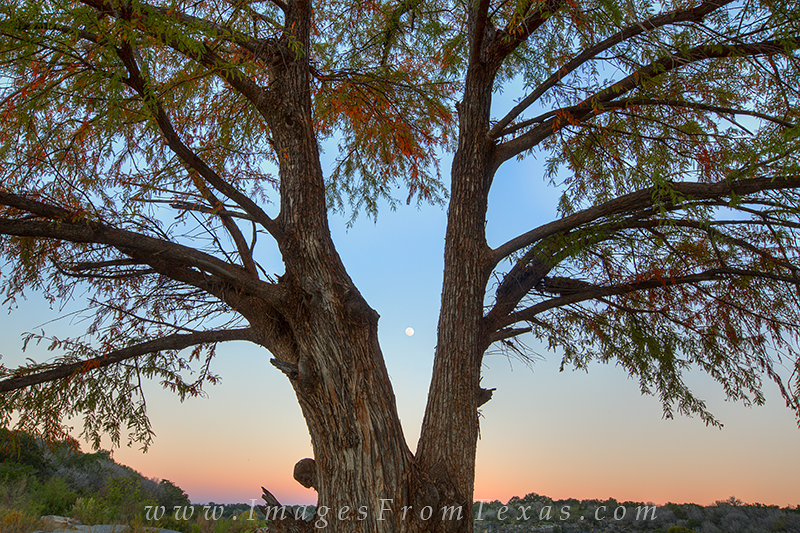 Looking through an old Cypress tree, this image from Pedernales Falls in the Hill Country shows a full moon setting while the...