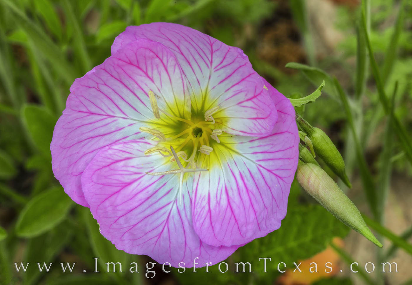 Known as Pink Evening Primrose, along with other common names such as Showy Evening Primrose, Pinkladies,  and Buttercups, these...