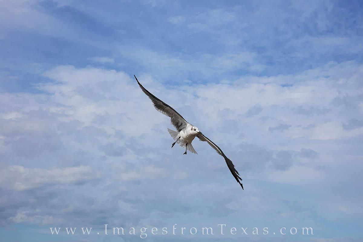 seagull, Port Aransas, Port A, texas coast, mustang island, texas gulf coast, seagull images, photo