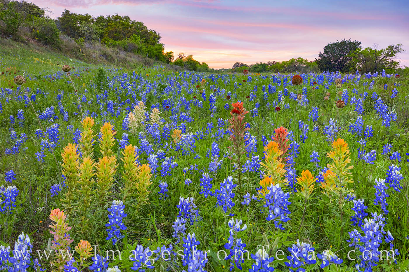 bluebonnets, prarie paintbrush, wildflowers, hill country, wildflowers prints, bluebonnet prints, sunset, spring, photo