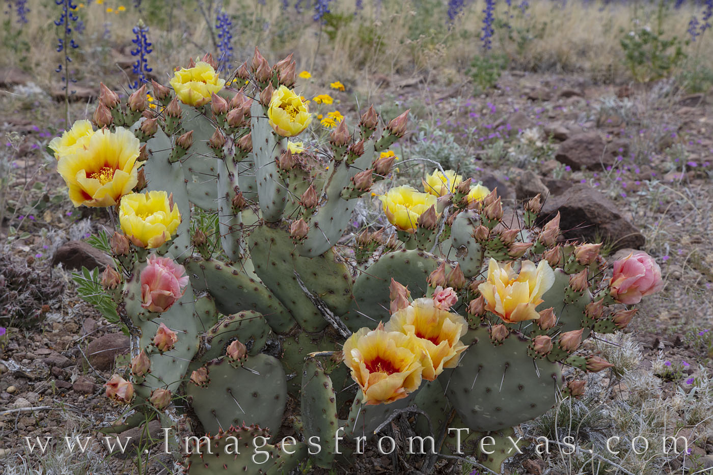 wildflowers, desert, prickly pear, blooms, big bend, chisos mountains, river road west, photo
