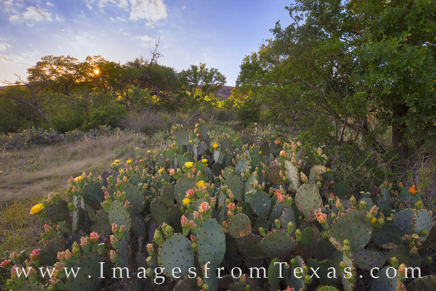 prickly pear, prickly pear blooms, enchanted rock, wildflowers, texas hill country, cactus, cacti, texas wildflowers, hill country, photo