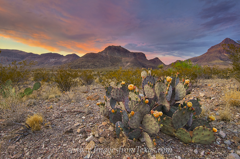 big bend national park,big bend images,prickly pear,texas wildflowers,chihuahuan desert,chisos mountains,texas landscapes, photo