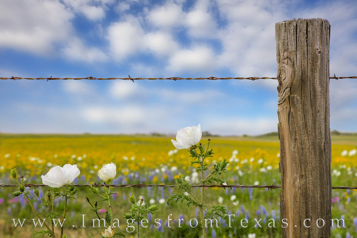 Prickly Poppies float in the afternoon breeze along a wooden post and barbed-wire fence. In the distance, a field of golden groundsel...
