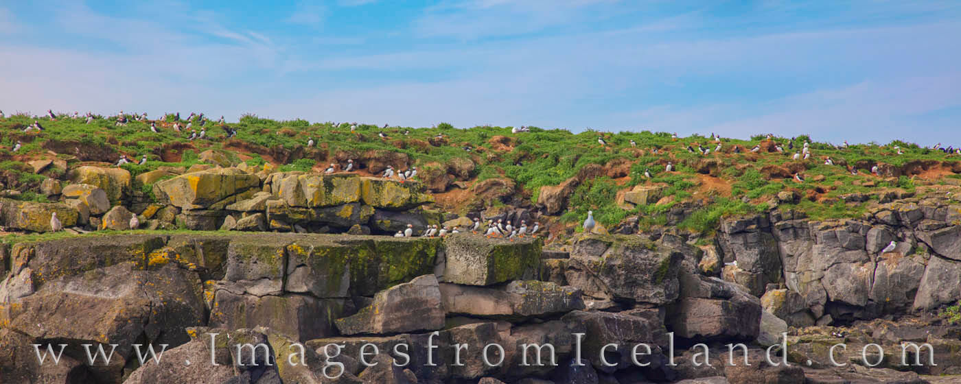 On a small island off the coast of Iceland near Reykjavik, a colony of puffin rest between flights on a ridge. They share the...
