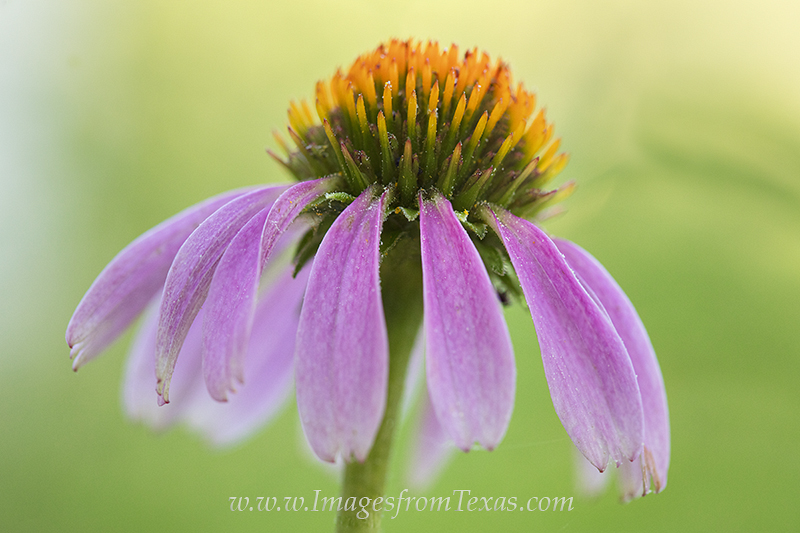 texas wildflower prints,texas wildflower photos,purple coneflowers,texas flowers, photo