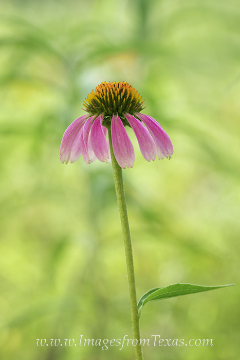 texas wildflowers,texas wildflower prints,wildflower photos,purple coneflower, photo