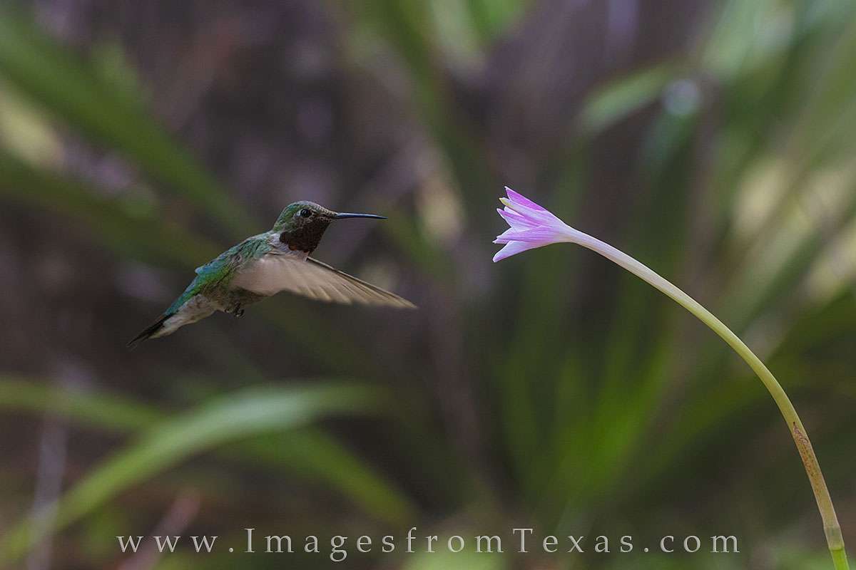 texas wildflowers, hummingbirds, rain lilies, texas prints, texas hummers, wildflowers, hummingbird photos, photo