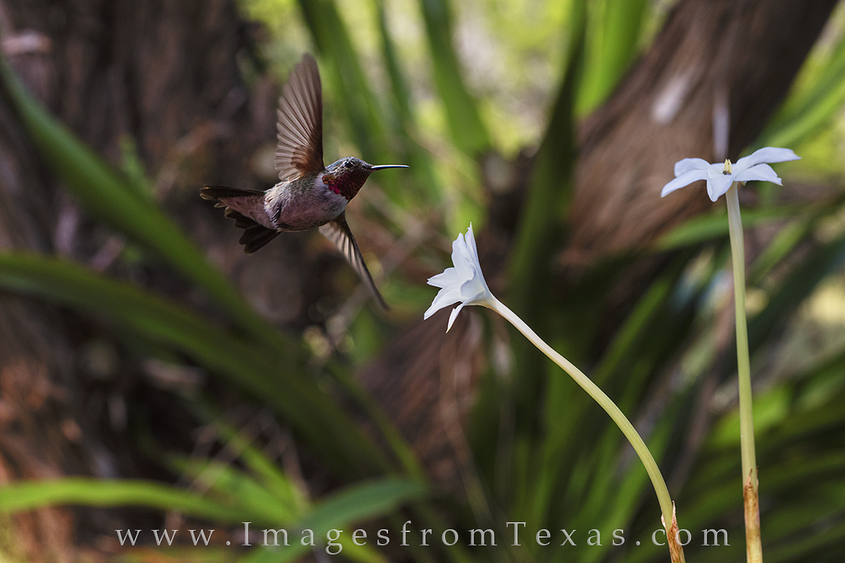 texas wildflowers, hummingbirds, hummingbird, rain lily, rain lilies, texas wildflower, wildflowers, texas hill country, photo
