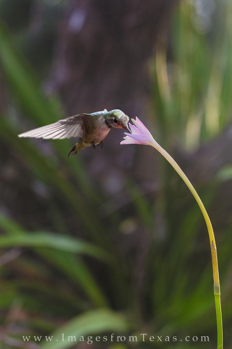 texas wildflowers, texas hill country, hill country photos, hummingbirds, hummingbird images, texas prints, texas birds, rain lilies, photo