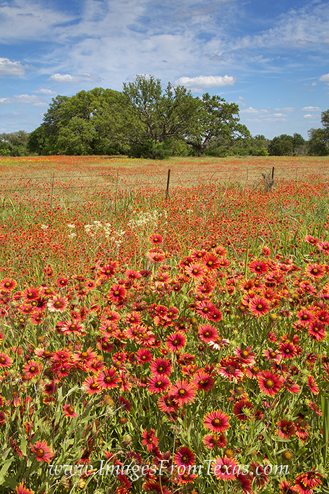 texas wildflowers,texas hill country,firewheels,hill country photos,red flowers, photo