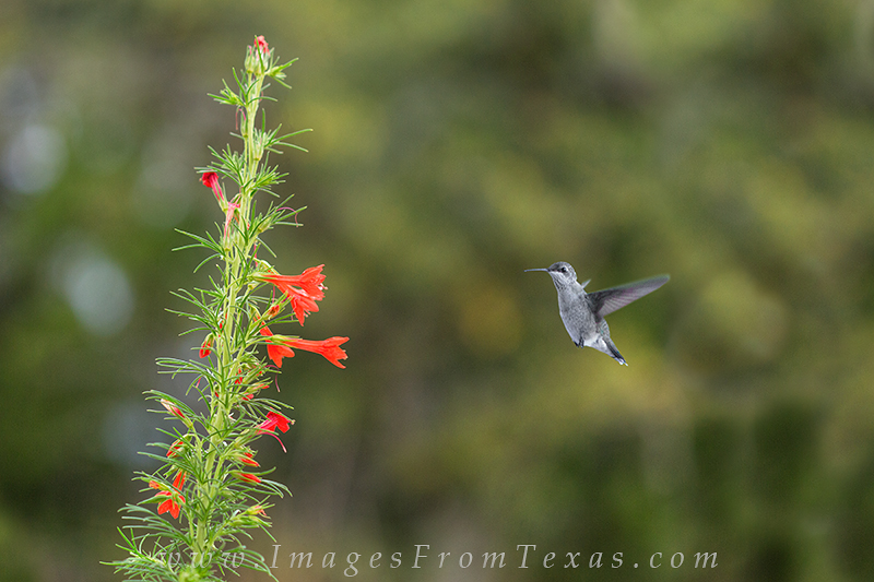 Texas Wildflower pictures,Texas Wildflower images,bluebonnet pictures,bluebonnet images,texas wildflowers,texas wild flowers,humming bird pictures,hummingbird images,texas wildflower photos, photo