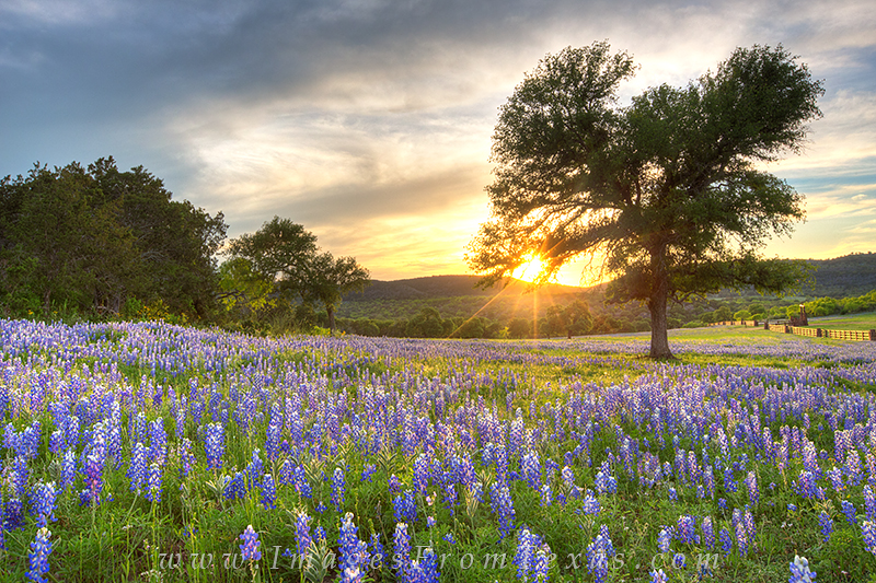 bluebonnets,sunset,texas hill country,bluebonnet photos,texas wildflowers, photo