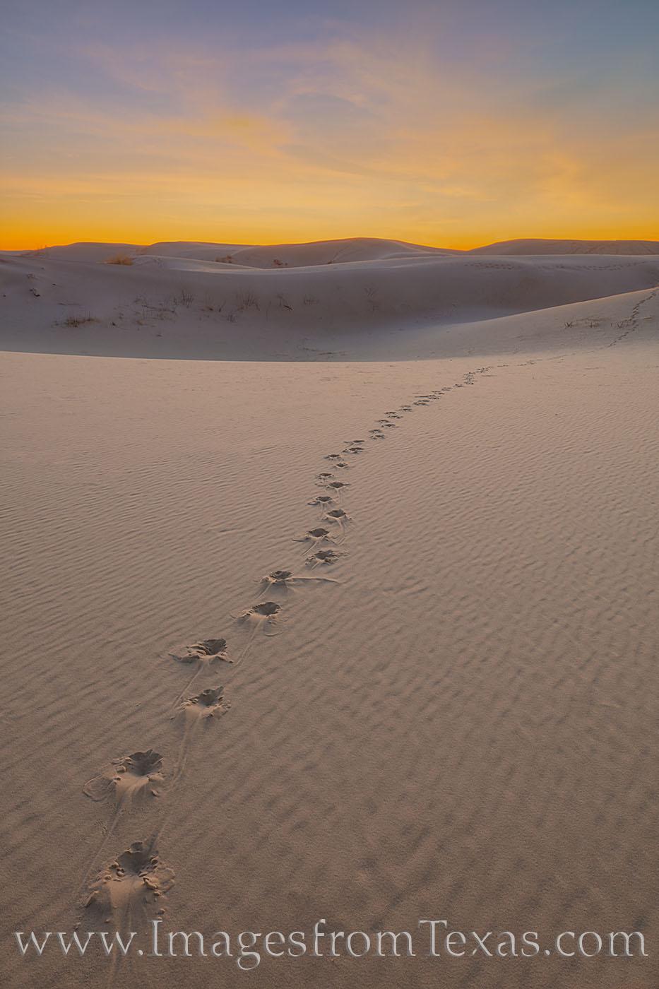 sand dunes, sandhills state park, sunrise, monahans, sand, west Texas, animal tracks, photo
