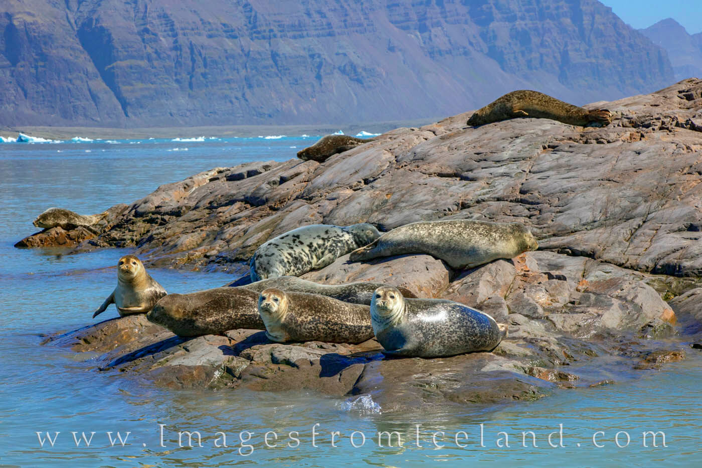 Seals warm themselves on rocks in Jökulsárlón Bay in south Iceland. These seals live in this glacier bay formed by the...