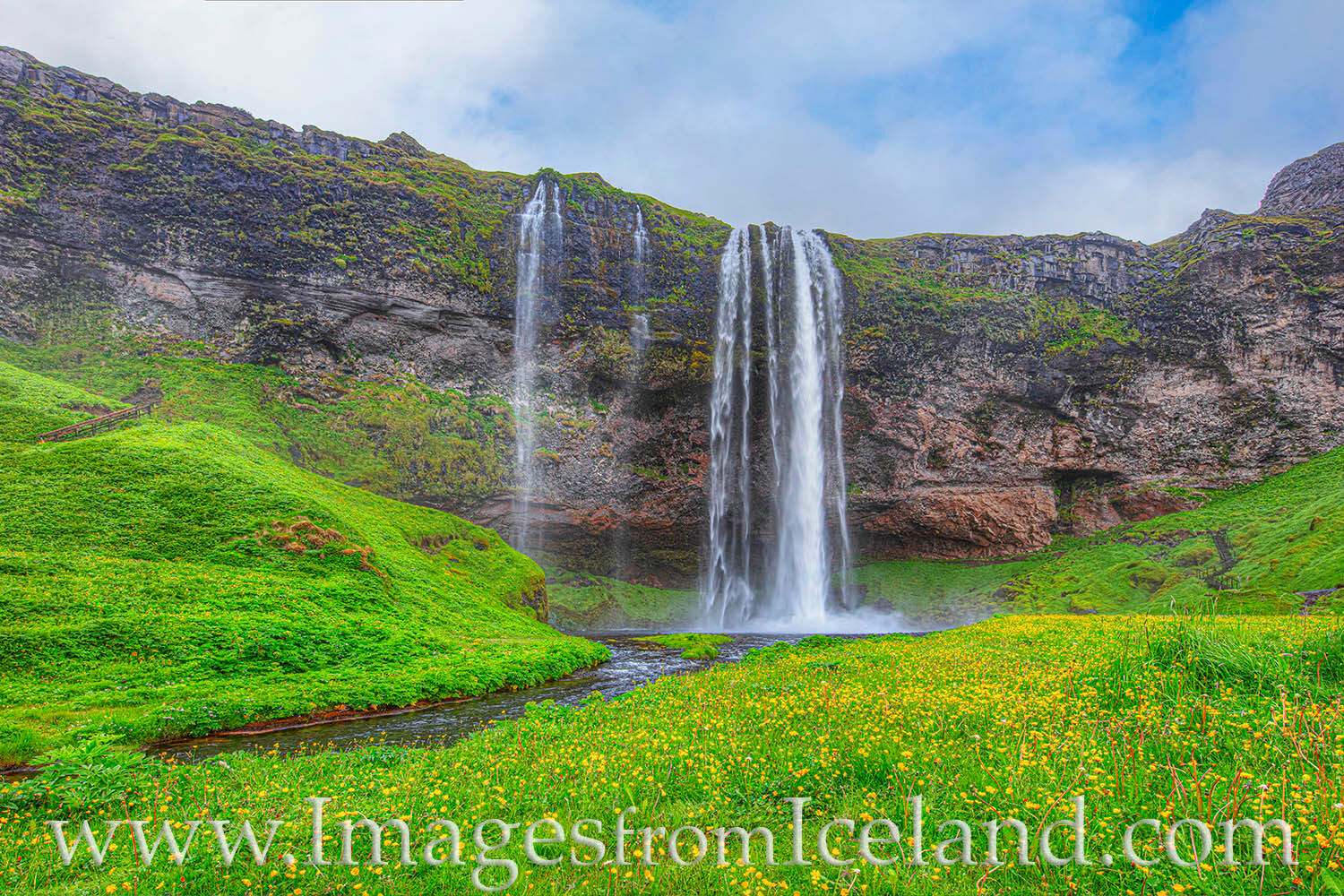 Tiny golden flowers adorn the lush green carpet in the front of the iconic Seljalandsfoss waterfall in south Iceland. The morning...
