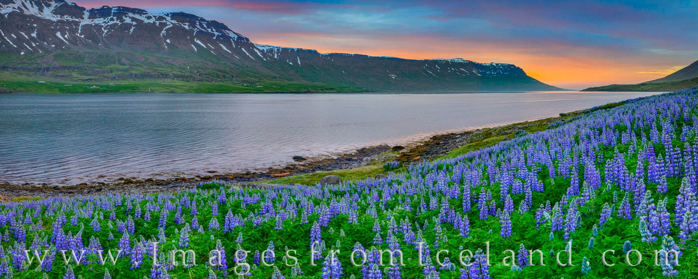 Lupine show off their colors beneath the midnight light of north Iceland. Just a short distance down a dirt road east of Seydisfj...