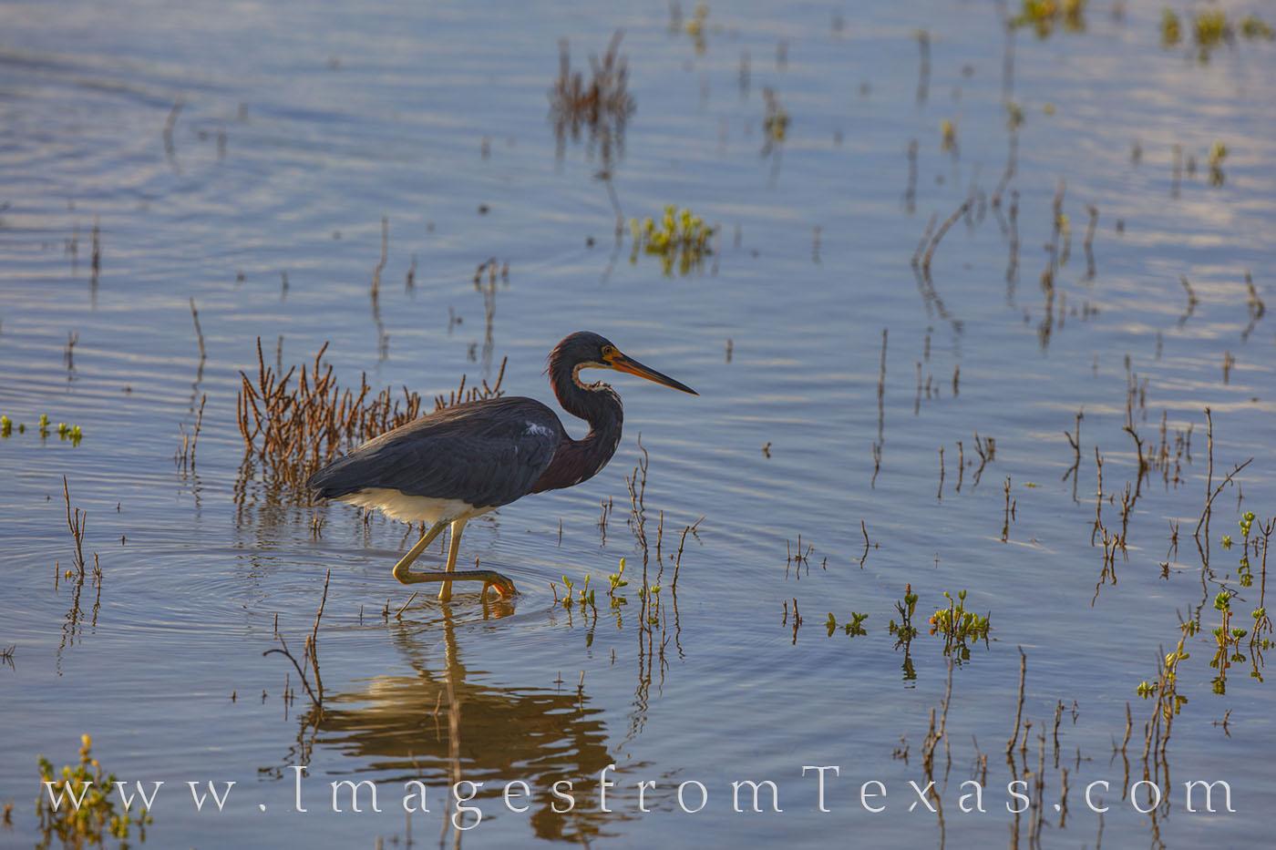 south padre island, birds, birding, herons, blue heron, south padre birds, texas birds, texsa coast, photo