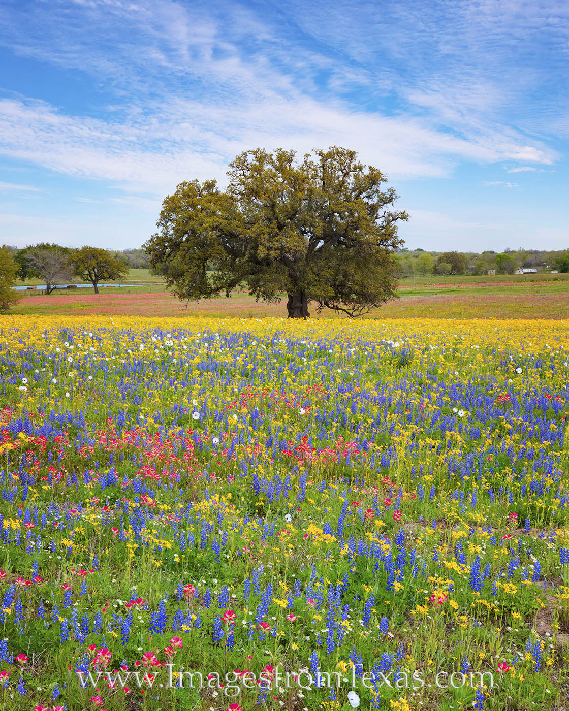 Atascosa county, poteet, wildflowers, bluebonnets, paintbrush, afternoon, color, red, blue, yellow, texas wildflowers, south texas, san antonio, spring, spring flowers, wheeler road, photo