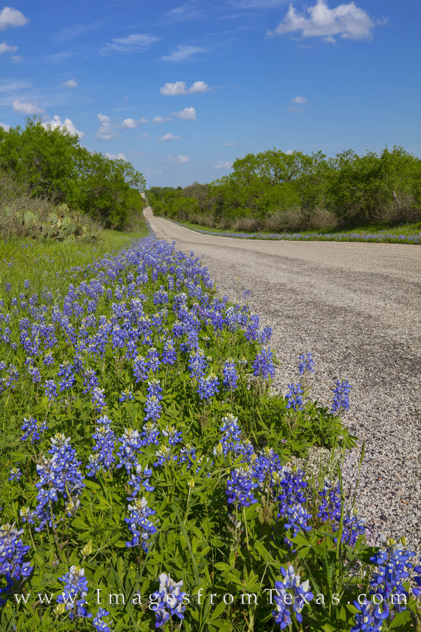 Spring County Road Bluebonnets 407-1