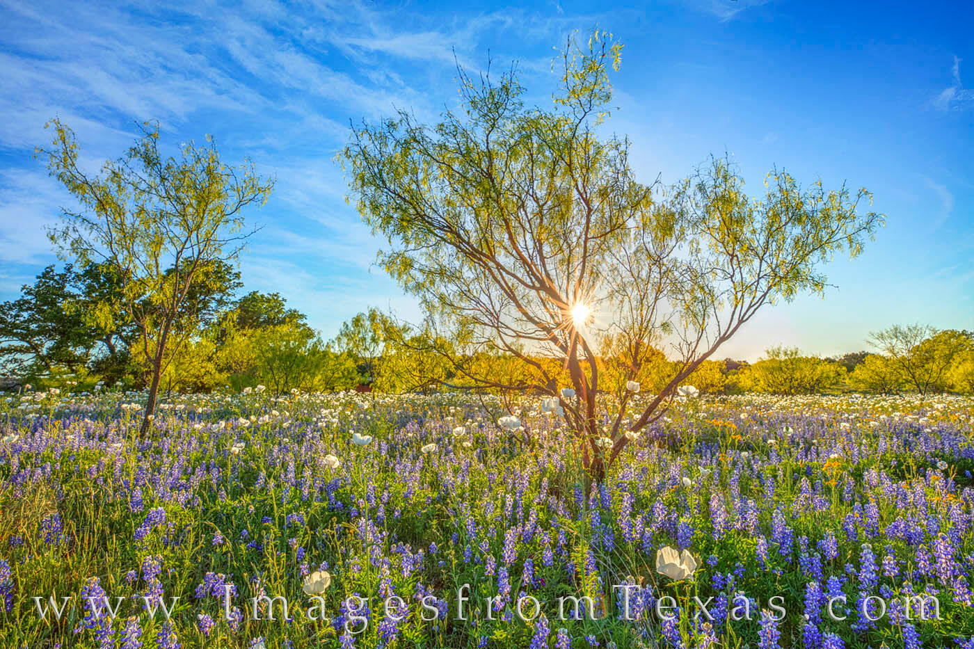Bluebonnets and White Prickly Poppies share a field as the sun sets in the west. The sunburst lights up the thin leaves of the...