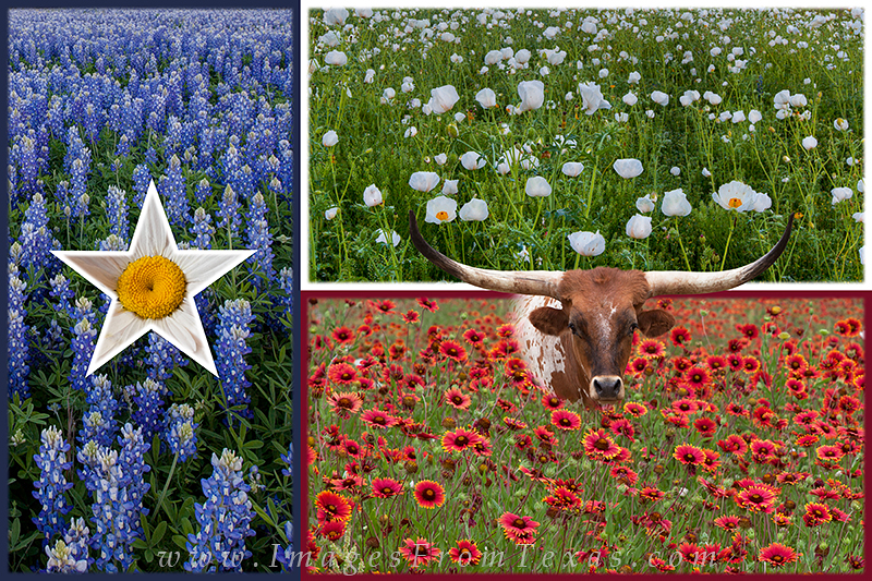 texas wildflowers,texas bluebonnets, photo