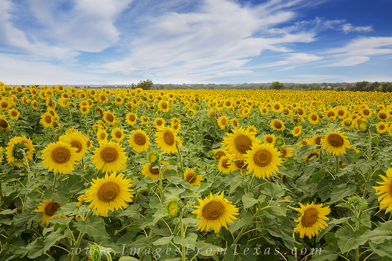 sunflower images,texas sunflowers,sunflower prints,texas sunflower prints,texas wildflowers, photo
