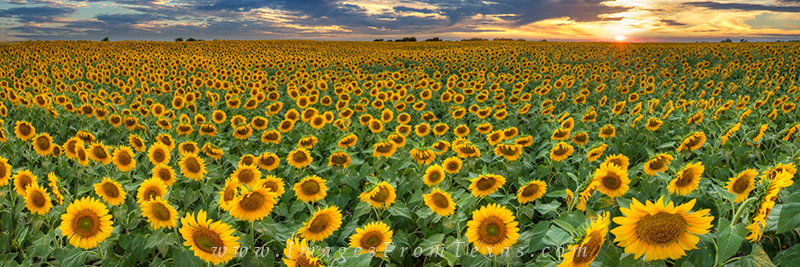 Texas Wildflower Images,Texas Wildflower pictures,Texas Wildflower Panorama,sunflower images,sunflower pictures,texas wildflowers,fields of sunflowers,sunflower photos,texas wildflower photos,bluebonn, photo