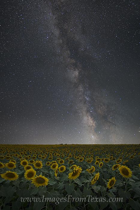 texas sunflower images,sunflower photos,milky way images,milky way prints,sunflower prints,texas wildflowers,texas wildflower images, photo