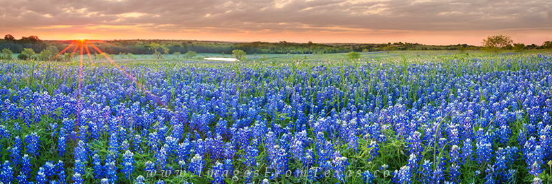 bluebonnet panorama,bluebonnet prints,texas wildflowers,wildflower prints,texas bluebonnets, photo