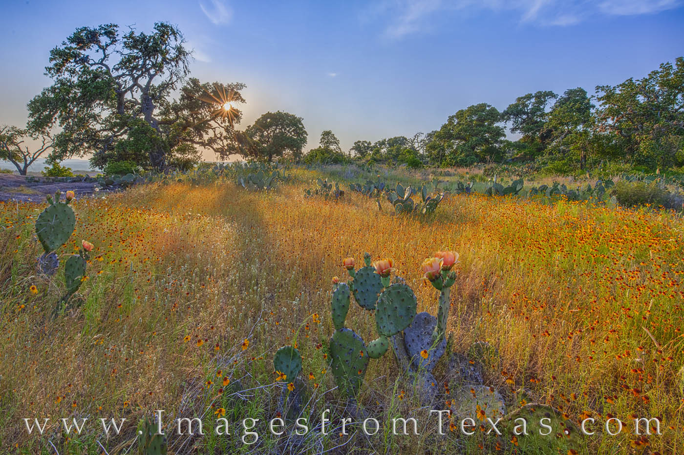 prickly pear, sunste, enchanted rock, little rock, greenthread, gold, yellow, wildflowers, hill country, evening, photo