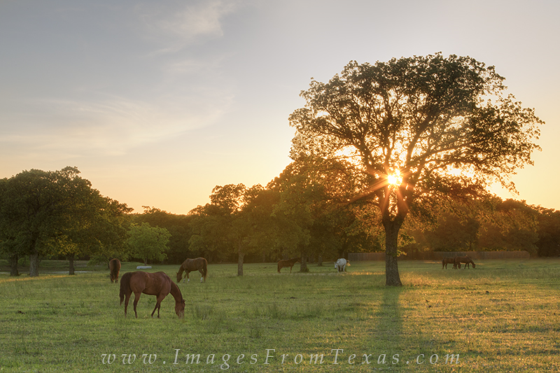 Horses graze in a green pasture as the sun suts through the distant trees.