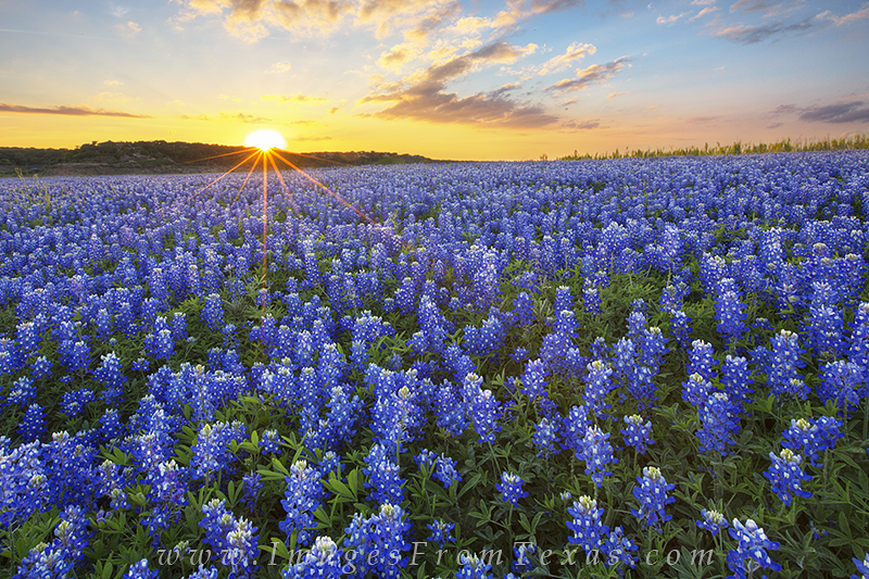 bluebonnet photos,bluebonnet images,texas wildflowers,texas wildflower prints,texas landscapes,texas in spring, photo