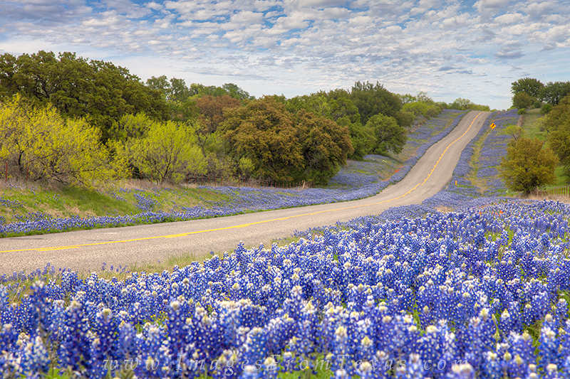 texas bluebonnets images and prints  images from texas, Beautiful flower