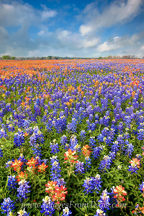 bluebonnet photos,bluebonnet prints,texas wildflower prints,wildflower photos,indian paintbrush,texas bluebonnets, photo