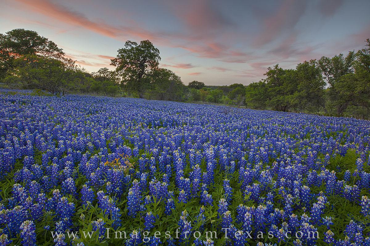 bluebonnets, texas wildflowers, bluebonnet prints, texas wildflower photos, texas hill country, hill country images, san saba, texas landscapes, photo