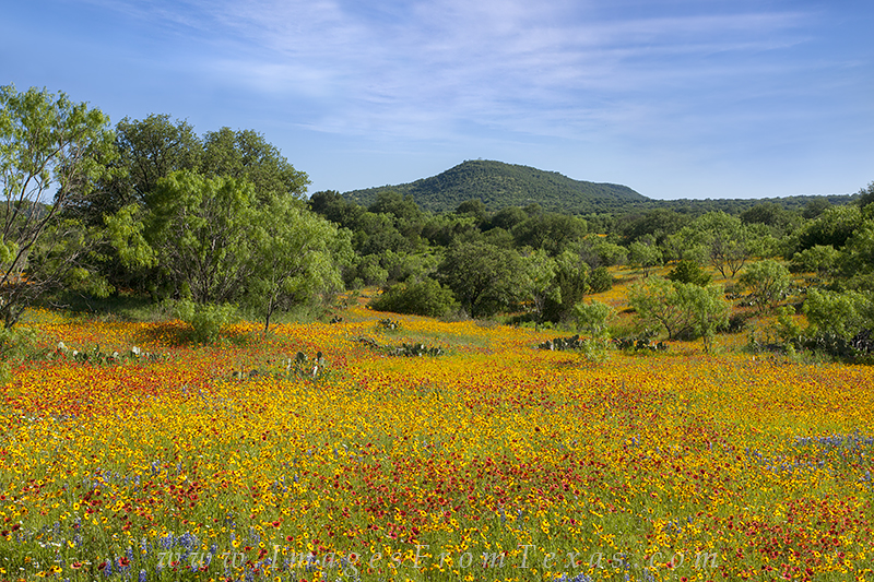 texas wildflower pictures,texas hill country wildflowers,texas wildflowers,bluebonnets,coreopsis, photo