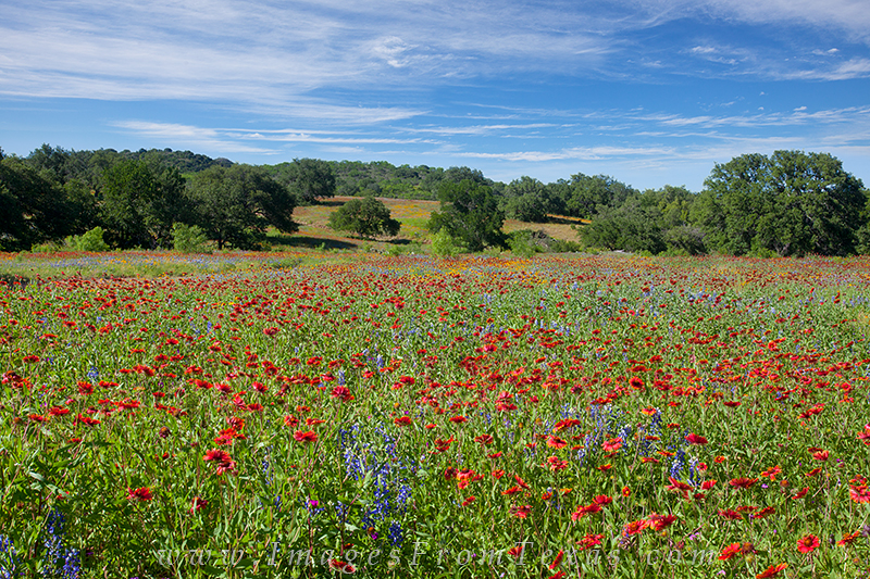 indian blankets,firewheels,texas wildflowers,texas wildflower prints, photo