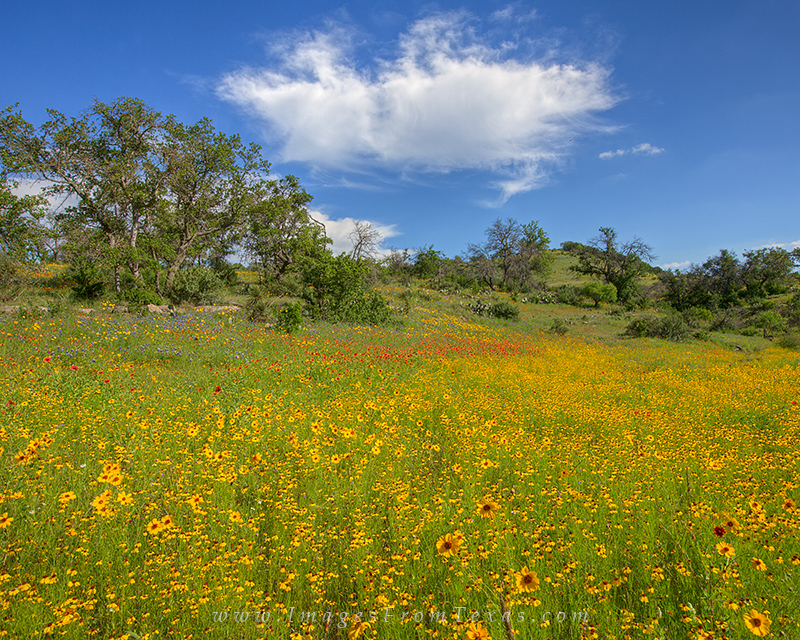 texas wildflowers,wildflower photos,texas hill country,texas landscapes,wildflower prints,llano, photo