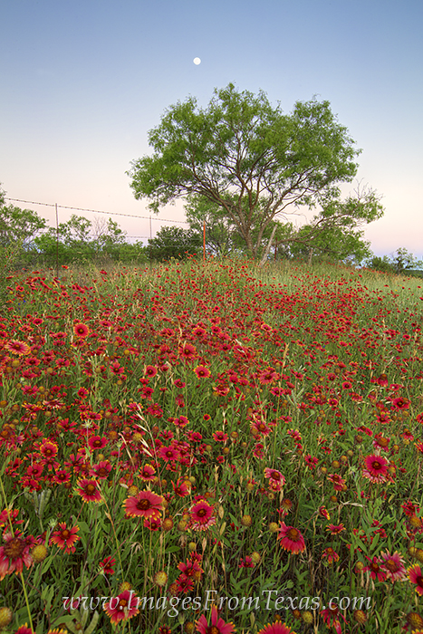 Texas Moon Over Red Wildflowers 1 Texas Hill Country