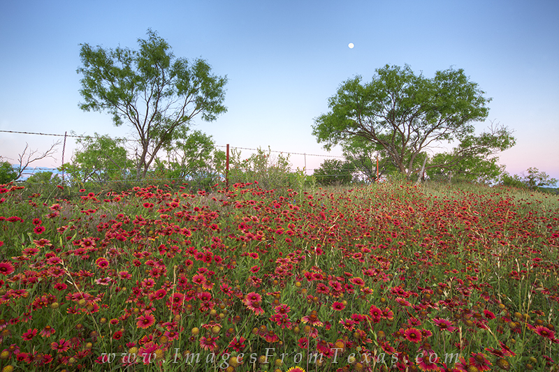 texas wildflower photos,texas wildflower landscapes,texas hill country,firewheels, photo