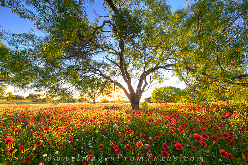 On a quiet evening in the Texas Hill Country, red wildflowers enjoy the long light of sunset. Landscapes such as this are common...
