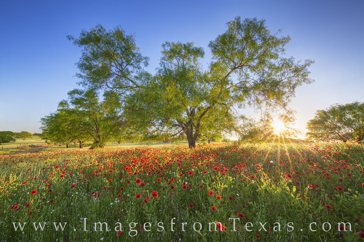 texas wildflowers, texas flowers, wildflowers, texas wildflower images, paintbrush, indian blankets, texas hill country, spring, llano, dirt road, texas spring, sunset, photo