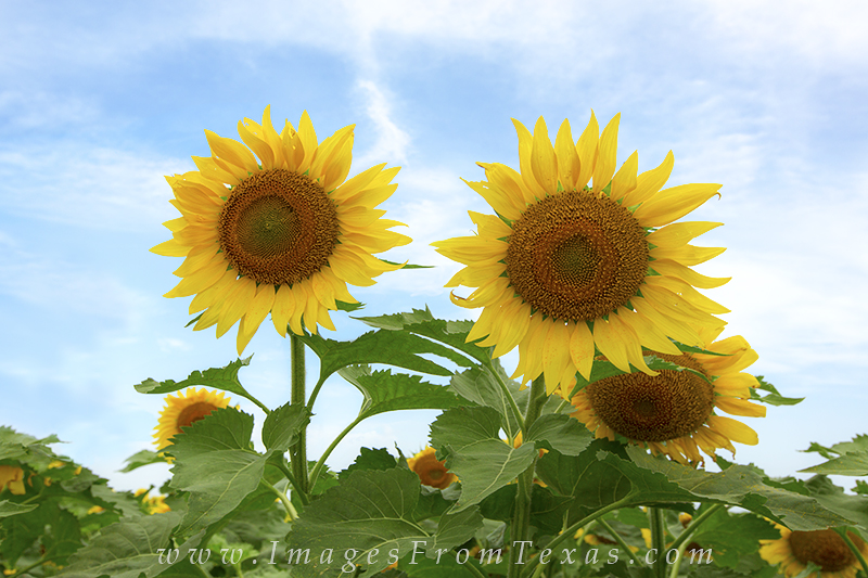sunflower prints,texas wildflowers,texas sunflower photos,texas sunflowers, photo