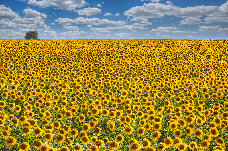 texas wildflower photos,texas sunflower photos,texas sunflowers,sunflower images,texas wildflowers, photo
