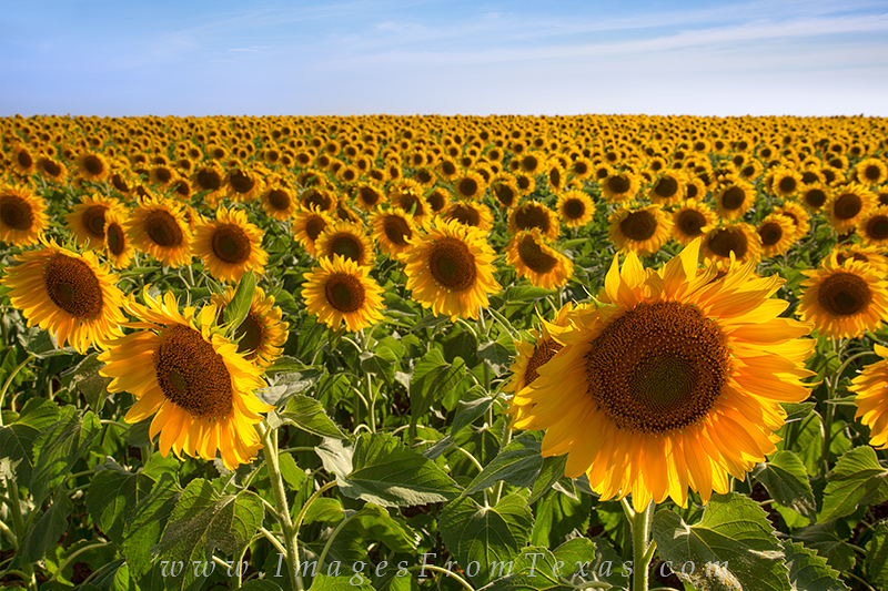 texas sunflower fields,texas sunflower images,sunflower photos,texas wildflowers,texas wildflower prints, photo