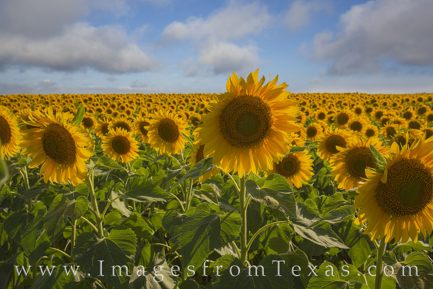 sunflower, sunflowers, texas sunflowers, texas wildflowers, texas landscapes, sunflower fields, texas images, wildflowers, travels, texas travels, photo